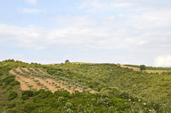 Olive sunny orchard Stock Images