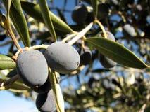 Olive sur un arbre Image stock
