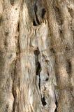 olive texturtree Arkivfoto