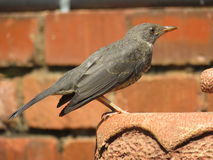 Olive Thrush. Royalty Free Stock Image