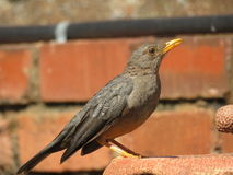 Olive Thrush. Royalty Free Stock Images