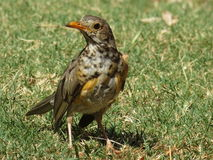 Olive Thrush. Stock Photography