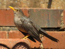 Olive Thrush. Royalty Free Stock Photo