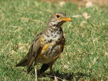 Olive Thrush. Stock Photo