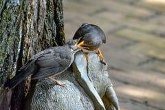 Olive Thrush feeding Stock Photo