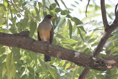 Olive thrush that sits on a tree branch in the shade of leaves o Stock Photography