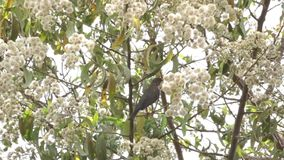 Olive Thrush on a tree stock video