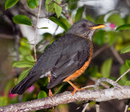 Olive thrush in a tree in the shade. Sitting on a branch Stock Image