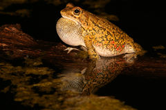 Olive toad calling. Male olive toad (Amietophrynus garmani) calling during the night, South Africa Royalty Free Stock Photos