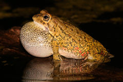 Olive toad calling Stock Photo