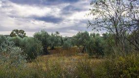 olive trä Fotografering för Bildbyråer
