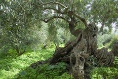 Olive Tree_1 Stockfoto