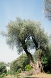 Olive tree. France Royalty Free Stock Photography
