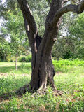 Olive tree. Details olive tree in Spring stock photos