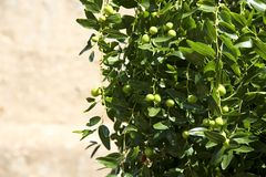 Olive Tree. Closeup of a olive tree. Shallow depth of field. Blurred stone wall in the background Stock Photography