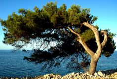 Olive tree. Survivor: old olive tree on sea shore Royalty Free Stock Image