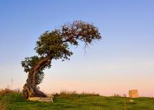 Olive tree. Old leaned single olive tree (lat. Olea Stock Photos