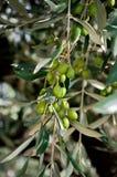 Olive tree Stock Photos