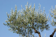 Olive tree. Branches against blue sky. Horizontal color image Royalty Free Stock Images