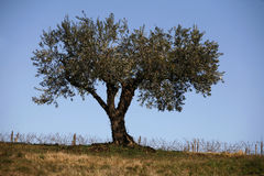 olive tree Royaltyfria Foton