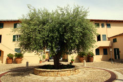Free Olive Tree Royalty Free Stock Photo - 13377095
