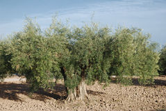 Olive tree. Old olive tree in south Spain Royalty Free Stock Images