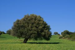 Olive tree. Blue sky, green grass, Sardinia, Italy Stock Photo