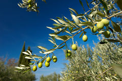 Olive tree. Branch full of green olives Royalty Free Stock Image