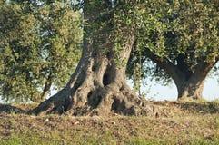 Olive-tree. stock photo