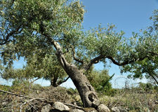 Olive tree. In Sardinia, colors image Stock Images