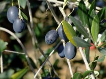 Olive tree. Ripe olives on olive tree branch Royalty Free Stock Image