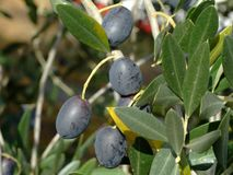 Olive tree. Ripe olives on olive tree branch Royalty Free Stock Photos
