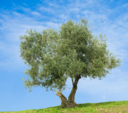 olive tree arkivfoto