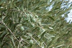 Olive tree Royalty Free Stock Photography