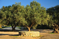 Olive tree. Stock Photos