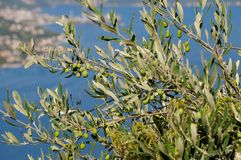 Olive tree Stock Images