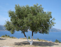 Olive tree. With Blue Sky and Sea Background stock images