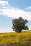 Olive Tree Stock Photography