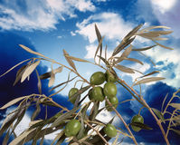 Olive tree. Detail of olive tree branch Royalty Free Stock Images