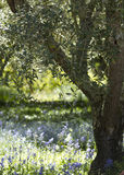 Olive Tree. In a field of purple flowers Royalty Free Stock Photo