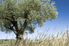 Olive tree. Royalty Free Stock Images