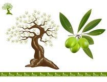 Olive tree Royalty Free Stock Image