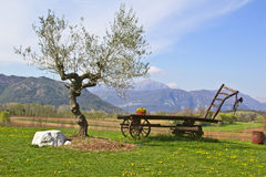 Olive tree. In the countryside with an old wagon Royalty Free Stock Images