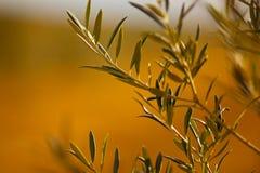 Olive Tree Arkivbild