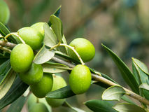Olive tree Royaltyfri Foto