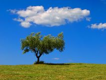 Olive tree. Solitary olive tree and cloud in a green field Stock Photos