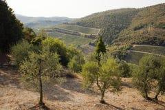 Olive tree stock image