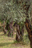 Olive tree. Some olive trees in a garden stock photography