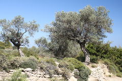 Olive tree Royaltyfria Bilder