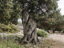 Olive tree #3. More than 1000 years old olive tree, Lun, Island Pag-Croatia Royalty Free Stock Image